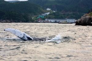 Gaultois Humpback Whale